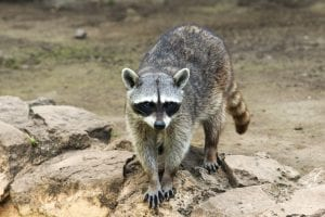 Animals that could endanger your cat