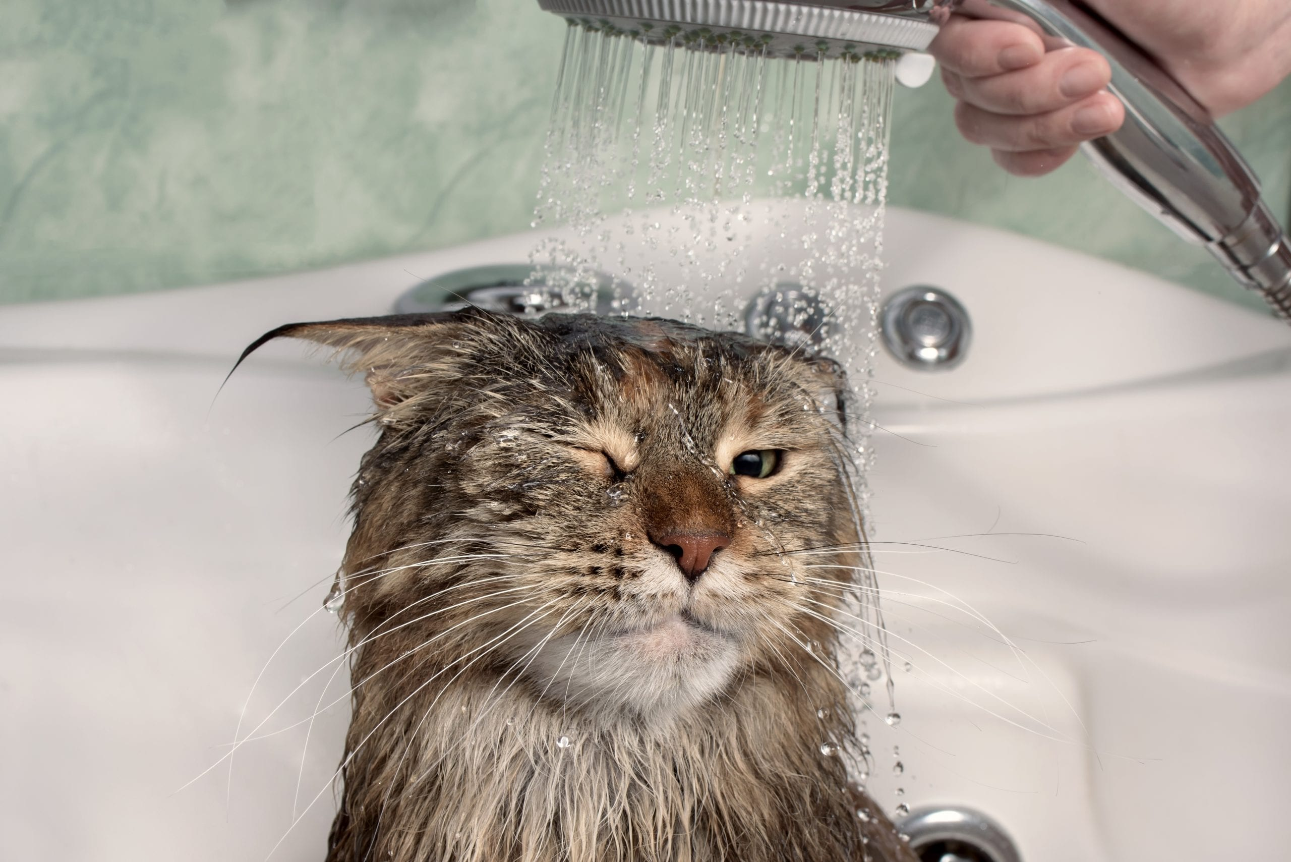 How to wash a cat without cat shampoo